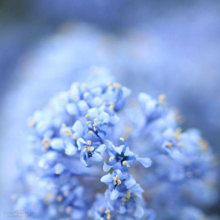 Lundi, Très Fleur Bleue..