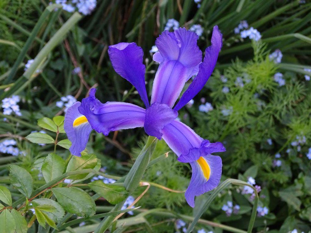 Fleurs de mon jardin en Avril