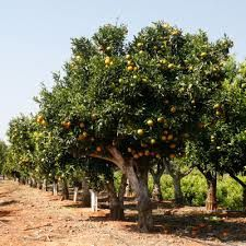 The Levant region of the Levant in Spain and Viticulture