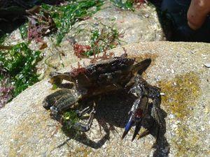 Crabe vert (Carcinus maenas) avec des pattes en moins... à droite, un jeune Xanthe (Xantho incisus)