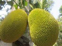 """Le Jacquier existe aux Mascareignes dès le milieu du XVIIIe siècle et Jacques-Henri Bernardin de Saint-Pierre lui consacre quelques lignes :  """" Le Jacq est arbre d'un beau feuillage, qui donne un fruit monstrueux. Il est de la grosseur d'une longue citrouille ; sa peau est d'un beau vert, et toute chagrinée. Il est rempli de grains dont on mange l'enveloppe, qui est une pellicule blanche gluante et sucrée. Il a une odeur empestée de fromage pourri. Ce fruit est aphrodisiaque : j'ai vu des femmes qui l'aimaient passionnément. """""""