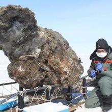 La carcasse d'un mammouth découvert avec son sang