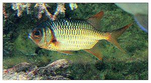 faune : actinoptérygiens : béryciformes (poissons)