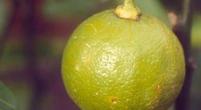 Cedrat, bergamote et autres agrumes...