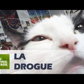 Les effets de l'herbe aux chats (cataire) - ZAPPING SAUVAGE 64