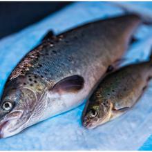 Les poissonniers accueillent le saumon GM durable d'AquaBounty (aux États-Unis d'Amérique)