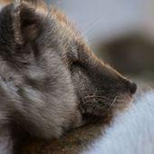 Un rare renard arctique bleu aperçu en Sibérie - vidéo
