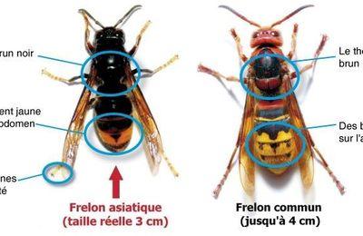 Réglementation relative au frelon asiatique en France
