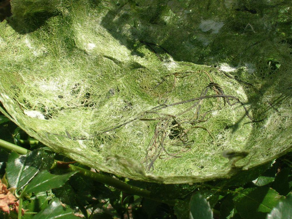 algue de vasière (limu , ) cuite et broyée , associée à des zostères (herbes marines où nichent les bernaches)