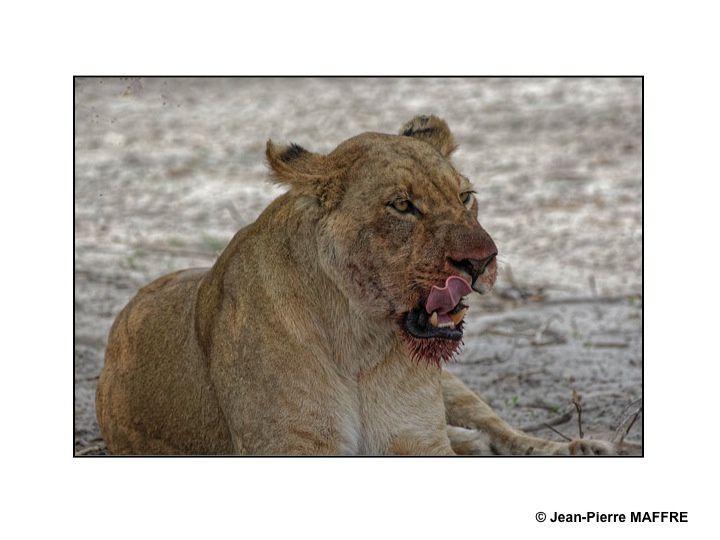 Dans ces jardins d'Eden que sont les parcs naturels du Botswana chassent et se nourrissent. Attention : la dureté de certaines images peut nous choquer.