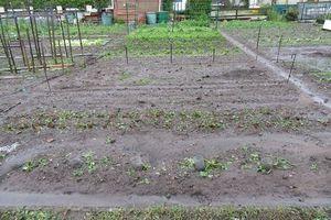 Les jardins après la grêle de juin (suite...)