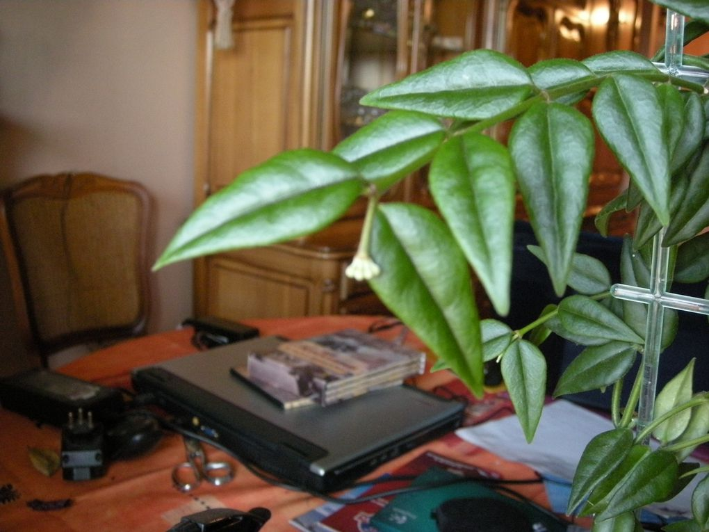 Mon dernier Hoya acheter le 20 mars 2010