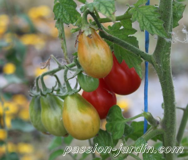 Tomate 'Red Pear' (poire rouge)