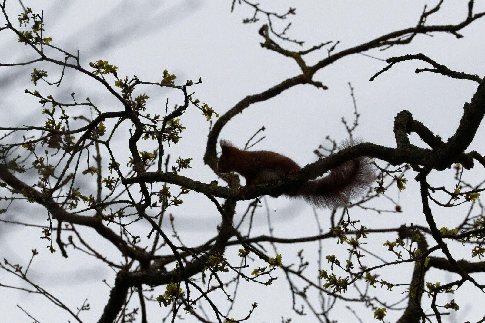 Ecureuil roux maitre de ses aires.