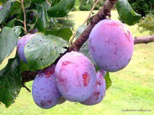 "Secteur est du jardin de Frescati : Prunes 'Santa Clara' et prunes ""à eau de vie"""