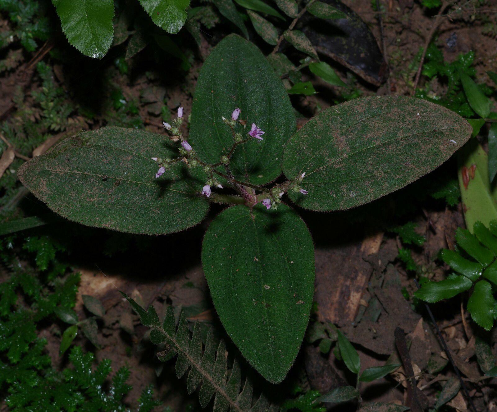 Aciotis ornata