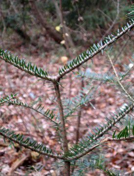Abnormal growth in Fukushima fir trees