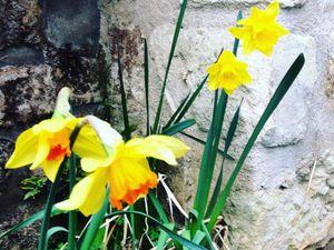 Bulbes (dans l'ordre Narcisses, Crocus, Jacinthes, Tulipes, Muscaris, Fritillaire Impériale??)