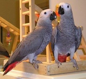 cheap african grey parrots for sale near me  african grey parrot price  african grey parrot for adoption  cameroon african grey parrot for sale  male african grey parrot for sale  african grey parrot price in kerala  african grey parrot price in india  buying a african grey parrot Page navigation