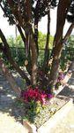 L'albero Tatà ad Altavilla