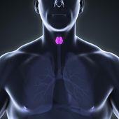 Problème de thyroïde chez l'homme : un risque de troubles sexuels