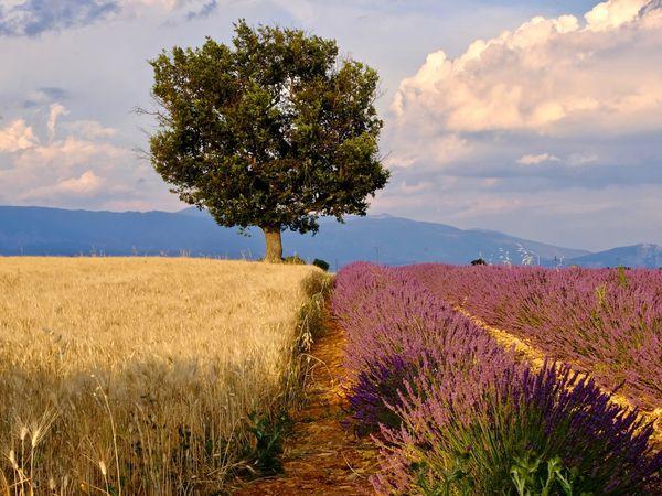 La symbolique de l'arbre.....ce relais de l'univers qui nous rappelle à l'humilité et aux vraies valeurs de l'Existence.....qui nous murmure l'humilité, la sagesse et la patience d'une Vie....ce grand Sage semble un point de ralliement pour tous ces champs gorgés de couleurs; plus qu'un repère, un ancrage......Nature quand tu nous montres la voie....!!!