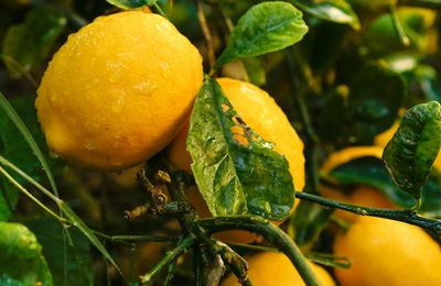 Are Lemon Trees The Way To Go?