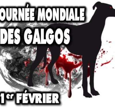 1er fevrier 2021 fin de la saison de chasse aux levriers en Espagne