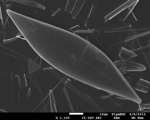 A microphotograph of sea-ice diatoms (Pleurosigma stuxbergii), which produces the chemical fossil that scientists study to describe the extent of sea ice in the Arctic. Credit: Thomas A. Brown and Simon T. Belt