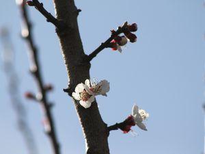 L'abricotier 'bergeron' en fleurs