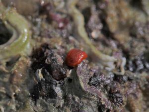 Sous une pierre, une minuscule tâche orange nous fait de l'œil !!! Il s'agit d'une limace, le Doris rouge (Rostanga rubra) -taille max 15mm- (ici 5mm) qui se nourrit d'Éponges encroûtantes rouges biensûr !!! Sinon, d'autres petits gastéropodes bien-aimés : la Porcelaine grain de café (Trivia monacha) et la frimousse d'un bébé Lièvre de mer (Aplysia punctata) de 2,5cm !!! Adorable n'est-ce pas ???