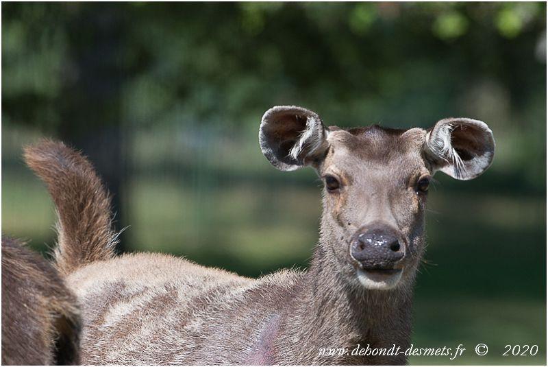 Les grandes oreilles arrondies du cerf sambar ont une taille presque égale la moitié de la longueur de la tête. Elles lui confère une ouïe fine et directive pour détecter le moindre signe de danger.