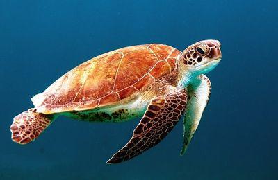 Confinée dans sa carapace ? Tortue marine : une formation pour l'étudier !