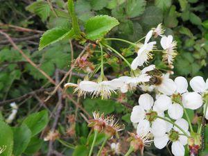 Des cerisiers échappés des vergers (redevenus sauvages ?)