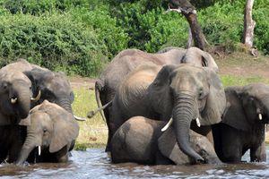 Journal du reconfinement/Acte 3  ''Ouverture de la saison 2021 de chasse à l'éléphant au Botswana''