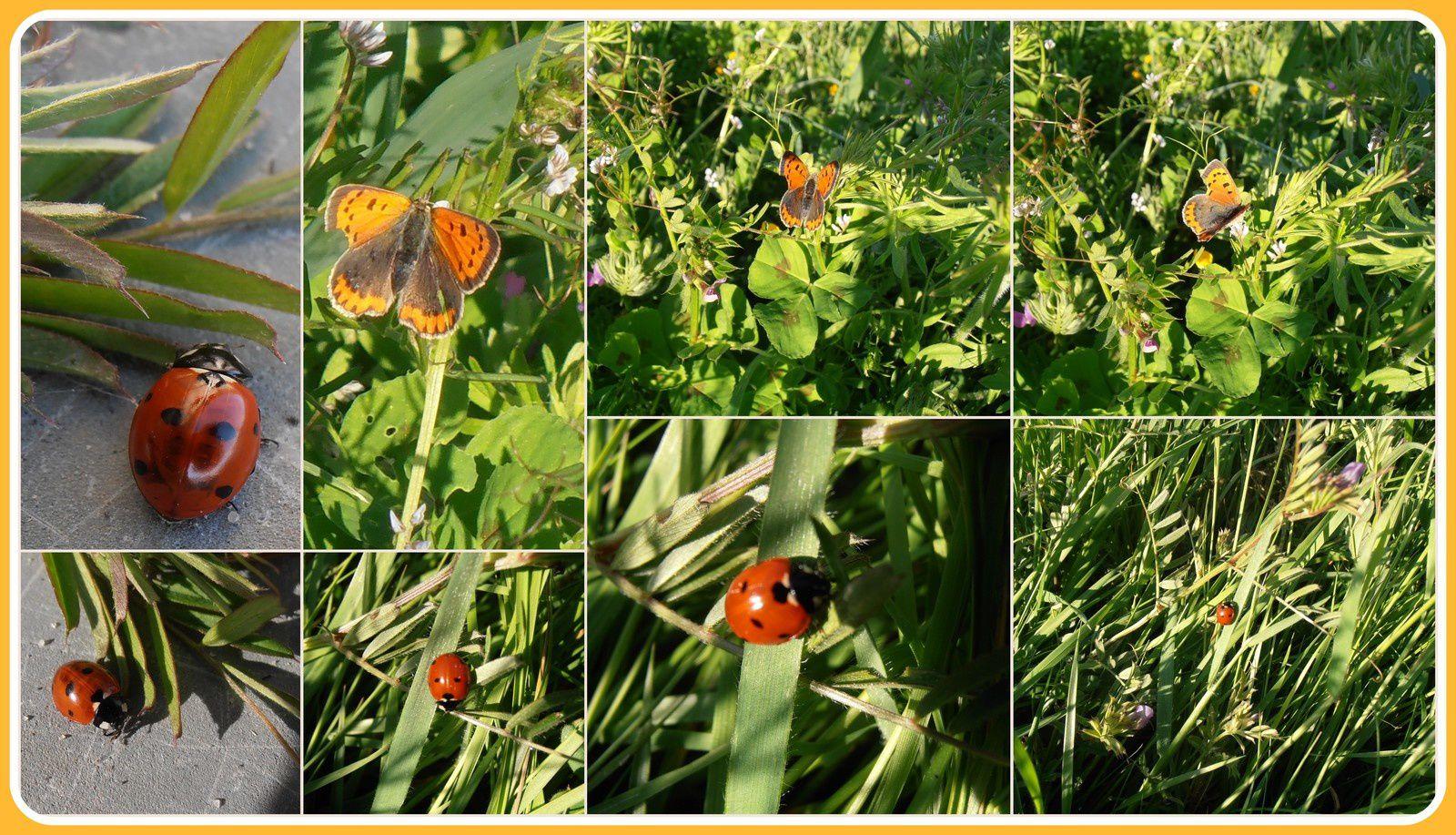 coccinelle et papillon