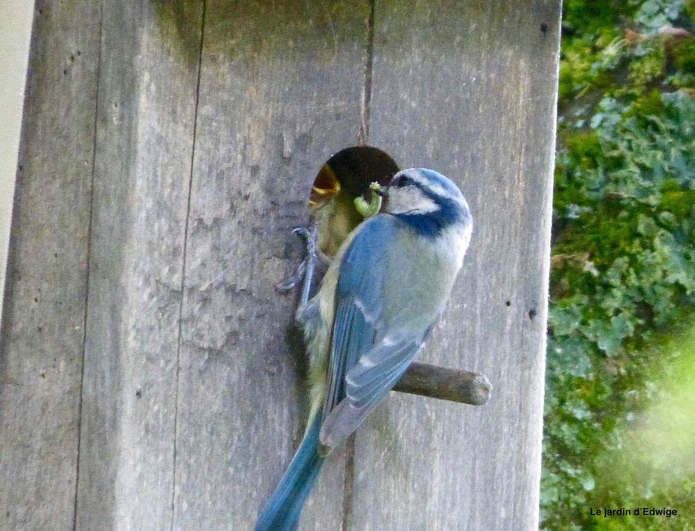 23 mai, les oisillons se hissent jusqu'au trou du nichoir pour la becquée.