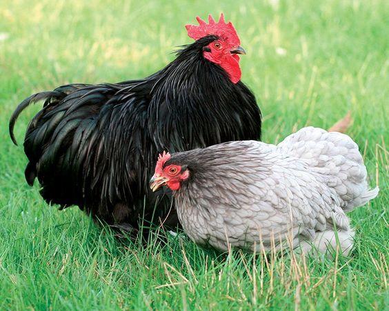 Coq noir et poule bleue - Photo Pinterest