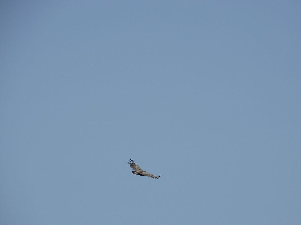 La faune du ciel ,je pense un vautour .......