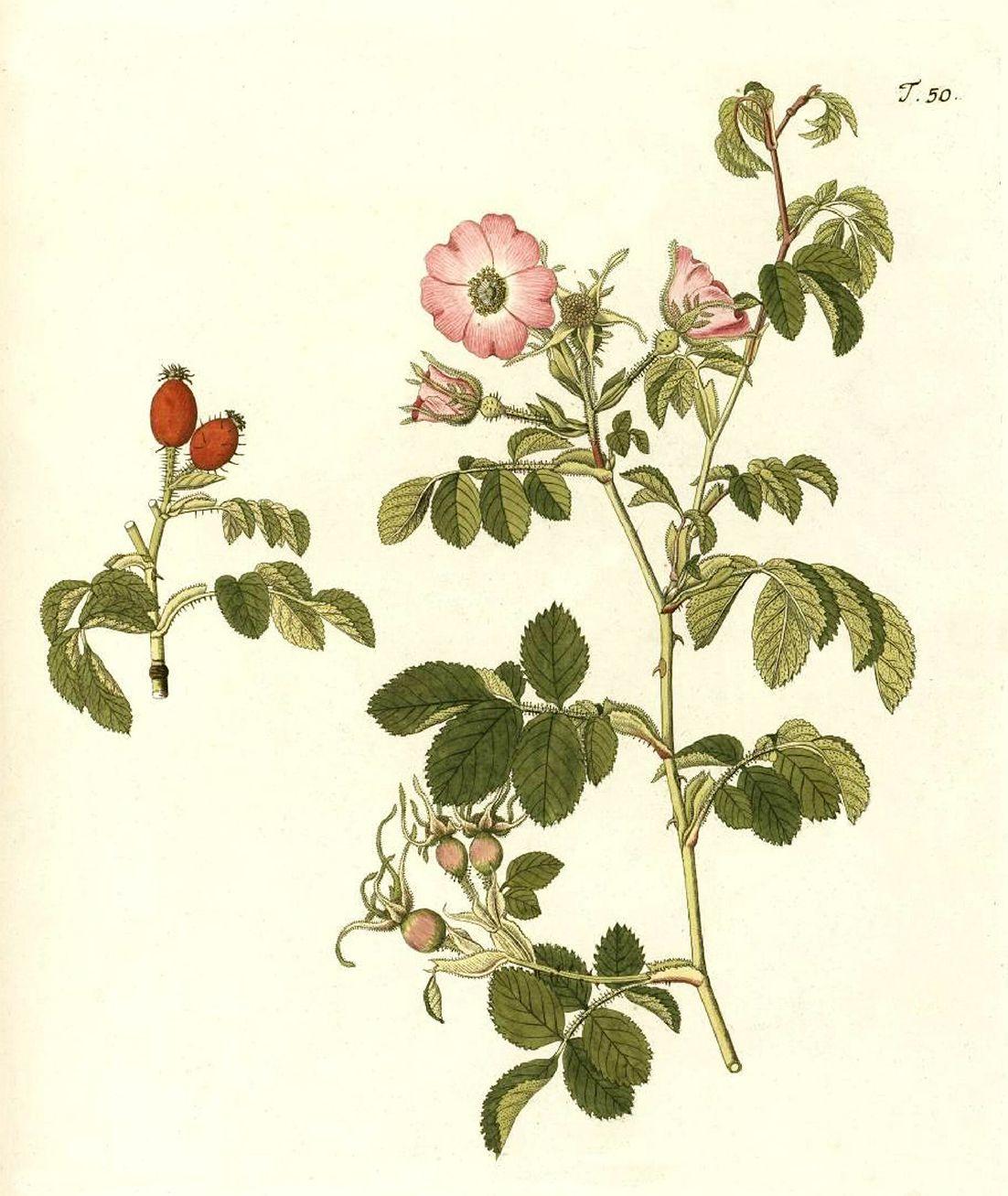 Rosa rubiginosa dans la «Flora austriaca» de Nikolaus Joseph Jacquin