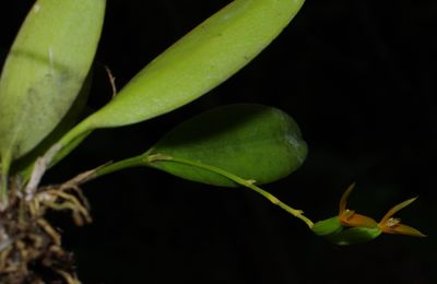 Pleurothallis lanceana