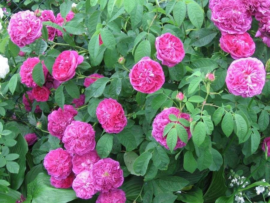photo roses.shoutwiki