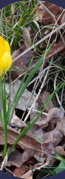 Premier crocus : promesse de printemps...