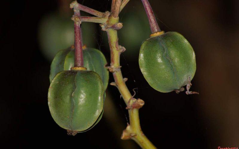 Le fruit du Manioc.