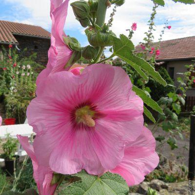 Quelques fleurs d'été au jardin / Balade en Haute-Loire