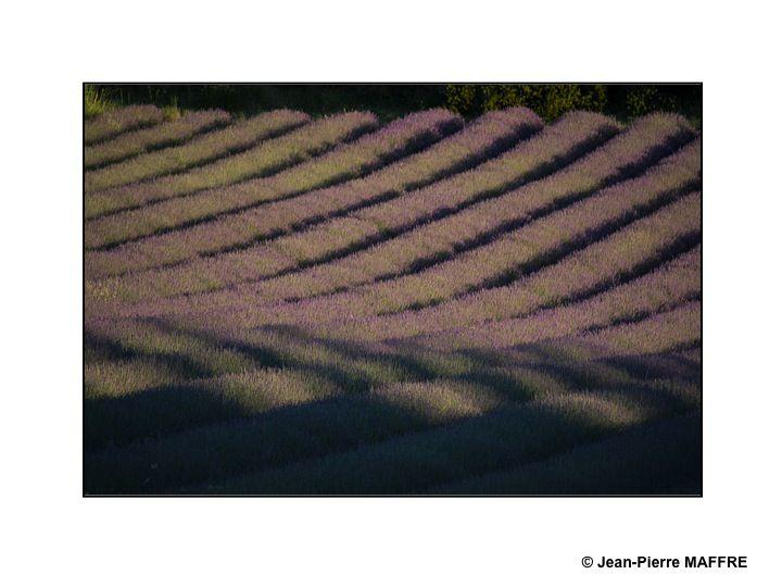 De juin à la fin juillet, du Vercors au Verdon, les champs de lavande sont en fleur, un véritable or bleu provençal.