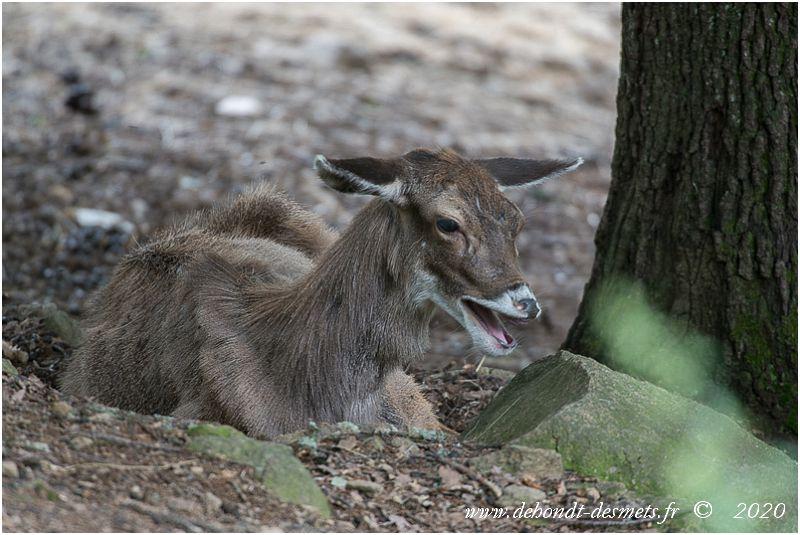 Les oreilles du cerf de Thorold sont plus longues que la plupart des autres cerfs et bordées de poils blancs.