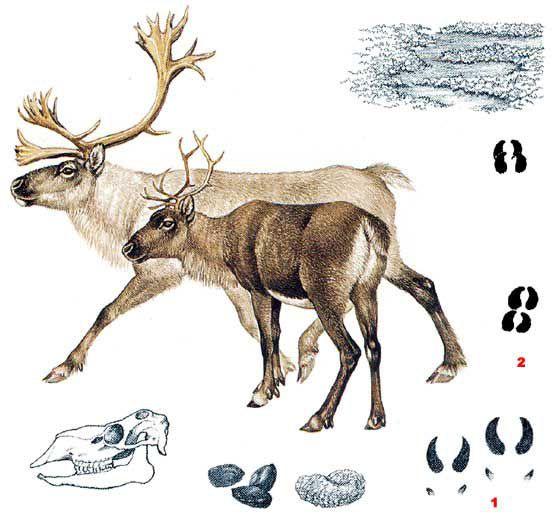Caribou ou renne
