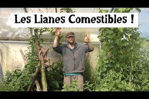 Cultiver des lianes comestibles !