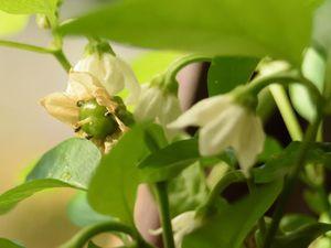 Les poivrons s'adaptent à la luminosité : ce mini-poivron, à gauche de la photo du haut,  a passé l'hiver derrière la fenêtre du salon : il a d'abord perdu toutes ses feuilles à l'automne. Puis d'autres sont apparues et aujourd'hui, il fleurit et forme de nouveaux fruits. Le tout sans éclairage d'appoint.